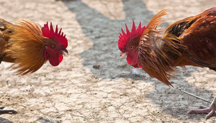 COCKFIGHT พนันไก่ชนออนไลน์ เป็นการถ่ายทอดสดจากต่างประเทศ